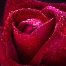 Декоративное панно Бархатная роза 134х98 (2 листа)